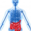 Highlighted intestines — Stock Photo