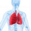 human lung — Stock Photo