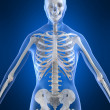 Stock Photo: Female skeleton