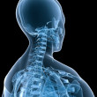 Foto Stock: Skeletal neck