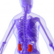 Highlighted kidneys — Stock Photo