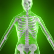 Female skeleton — Stock Photo
