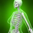 Female skeleton - Stock Photo