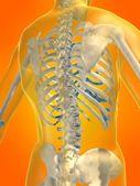 Szkieletowych z powrotem — Zdjęcie stockowe