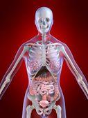 Anatomia feminina — Foto Stock