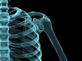 Skeletal shoulder — Stockfoto