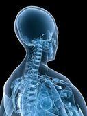 Szkieletowych szyi — Zdjęcie stockowe