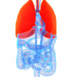 Stock Photo: Highlighted lung