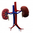 Human kidneys — Stock Photo