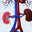 Human kidneys - Stock Photo