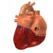 Human heart — Stock Photo #2631579