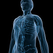 Lymphatic system - Stock Photo