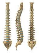 Coluna vertebral humana — Foto Stock