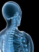 X-ray skeletal neck — Foto Stock