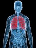 Human lung — Stock Photo