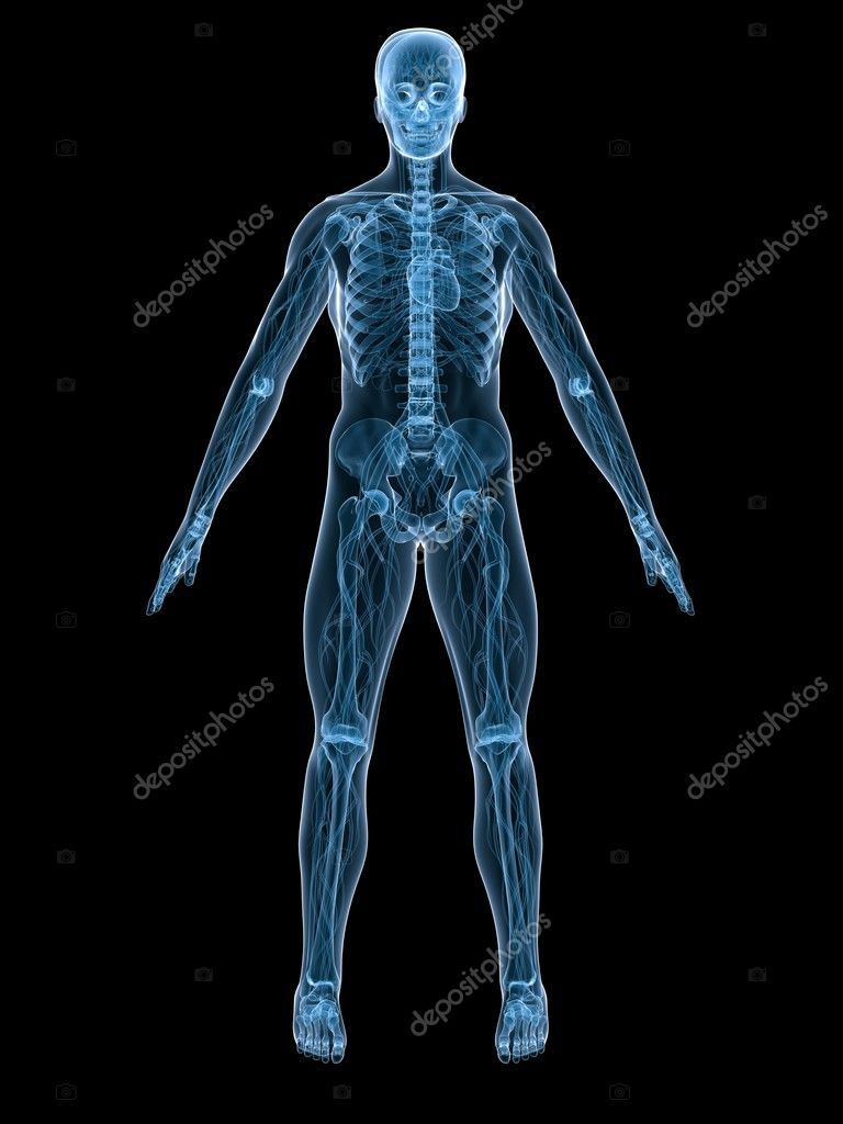 3d rendered illustration of a human anatomy  Stock Photo #2630901