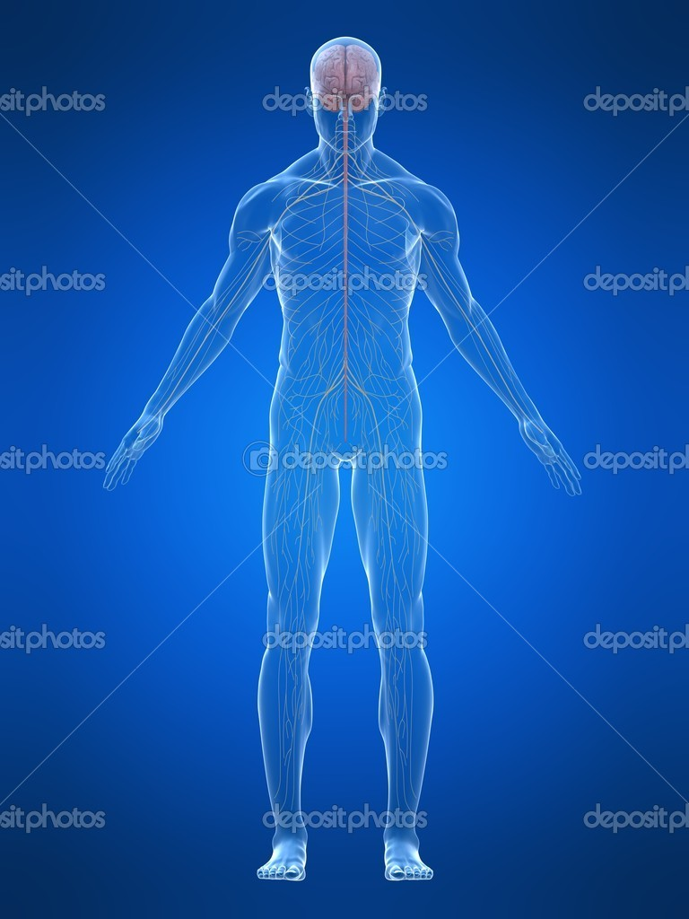 3d rendered illustration of human body with nervous system — Stock Photo #2633525