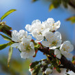 Blossoming cherry tree — 图库照片