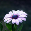 Stock Photo: Flower in violett