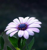Flower in violett — Stock Photo