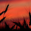 Wheatfied with red sky — Stock Photo #2512263