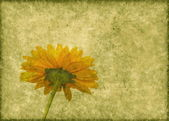 Grunge green paper with yellow daisy — Stock Photo