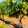 Royalty-Free Stock Photo: Grape Vines Panorama