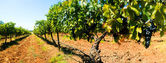 Grape Vines Panorama — Stock Photo