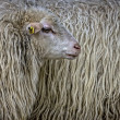 Sheep Portrait — Stock Photo #2584152