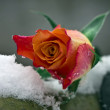 Rose auf Schnee — Stock Photo