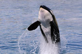 Killer whale jumping out of water — Foto de Stock