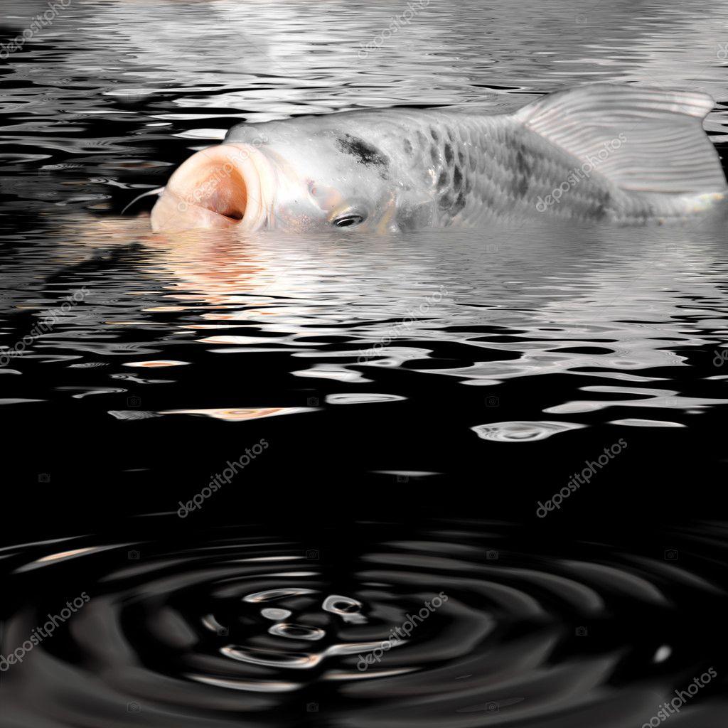 White carp koi at the surface of water stock photo for All white koi