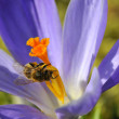 Bee feeding on blue crocus flower — Stock Photo #2559227