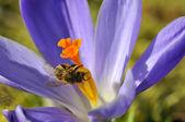 Bee feeding on blue crocus flower — Stock Photo