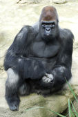 Gorilla sitting on rock — Stock Photo