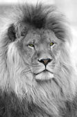 Black and white portrait of lion — Stock Photo