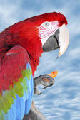 Portrait Scarlet macaw eating carrot — Stock Photo