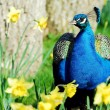 Indian Peafowl among narcissus flowers — Stock Photo #2560233