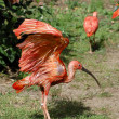 Scarlet ibis on grass - Stock Photo