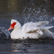 Muscovy duck bathing — Stock Photo