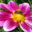 Stock Photo: Honey bee feeding on dahlia flower