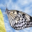 Paper kite butterfly on leaf — Stock Photo