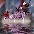 Decorative cherry tree blossoms — Stock Photo