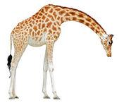 Isolated giraffe — Stock Photo