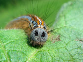 Hairy caterpillar on leaf — Stock Photo