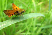 Large skipper butterfly on leaf — Stock Photo