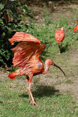 Scarlet ibis on grass — Stock Photo