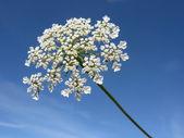 Closeup umbellifer flower — Stock Photo