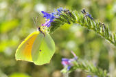 Cleopatra butterfly feeding on flower — Stock Photo