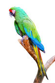 Isolated military macaw on branch — Stock Photo